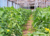 Blooming tomato plants — Stock Photo