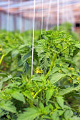 Blooming tomato plants — Stock Photo
