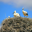 Family of storks — Stock Photo #49221111
