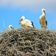 Family of storks — Stock Photo #49221163