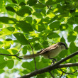 Stock Photo: Shrike