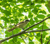 Shrike — Stock Photo