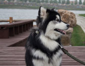 Alaska dog — Stock Photo