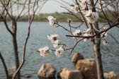 Apricot blossom — Stock Photo