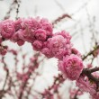 Stock Photo: Blooming cherry blossoms