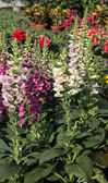 Flowering digitalis — Stock Photo