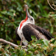 Stock Photo: Juvenile Male Magnificent Frigatebird (Fregatmagnificens)