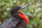 Magnificent Frigatebird Agape — Stock Photo