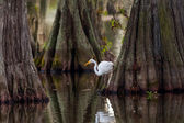 Great Egret (Ardea alba) Framed by Cypress Trunks — Stock Photo