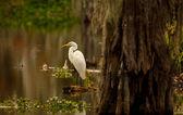 Great Egret (Ardea alba) — Stock Photo