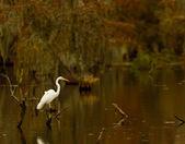 Great Egret (Ardea alba), Lake Martin, Breaux Bridge, Louisiana — Stock Photo