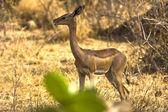 Gazelle near a tree — Stock Photo
