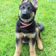 German Shepherd puppies — Stock Photo