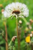 Dandelion fluff — Stock Photo