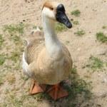 Goose — Stock Photo #28448371