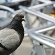 Small pigeon guarding a bar — Stock Photo