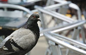 Small pigeon guarding a bar — Photo