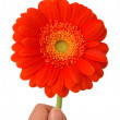 Burgundy gerbera flower on a white background — Stock Photo