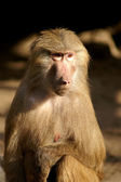 Baboon - Simia hamadryas in front of a white background — Stock Photo