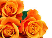 Orange flower rose with glorious green leaves — Stock Photo