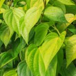 Stock Photo: Betel leaf green in garden