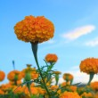 Stock Photo: Yellow Flower, Marigold