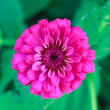 Close up of a beautiful purple red zinnia flower — Stock Photo