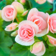 Beautiful mini  pink roses — Stock Photo