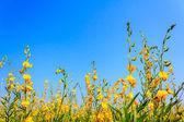 Sunn hemp field (Crotalaria juncea) in Thailand — Stock Photo