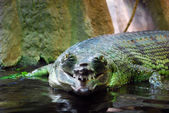 Gharial — Stock Photo