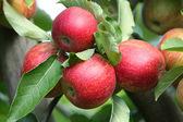 Mela rossa sul ramo x 3 — Foto Stock