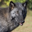 Gray Wolf in the wildlife - Stock Photo