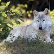 Gray Wolf in the wildlife — Stock Photo