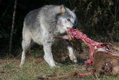 Grå varg i det vilda djur — Stockfoto