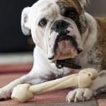 English Bulldog — Stock Photo #23166776