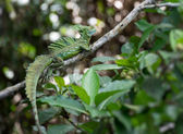 Green Basilisk lizard in the wild — Stock Photo