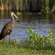 Limpkin in Everglades National Park — Stock Photo