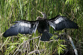 Anhinga drying out wings in Everglades National Park — Stock Photo
