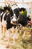Animal cow — Stock Photo