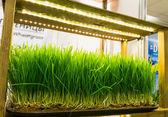 Wheat germ — Stock Photo