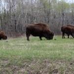 Buffalo Bizon — Stock Photo #26084545