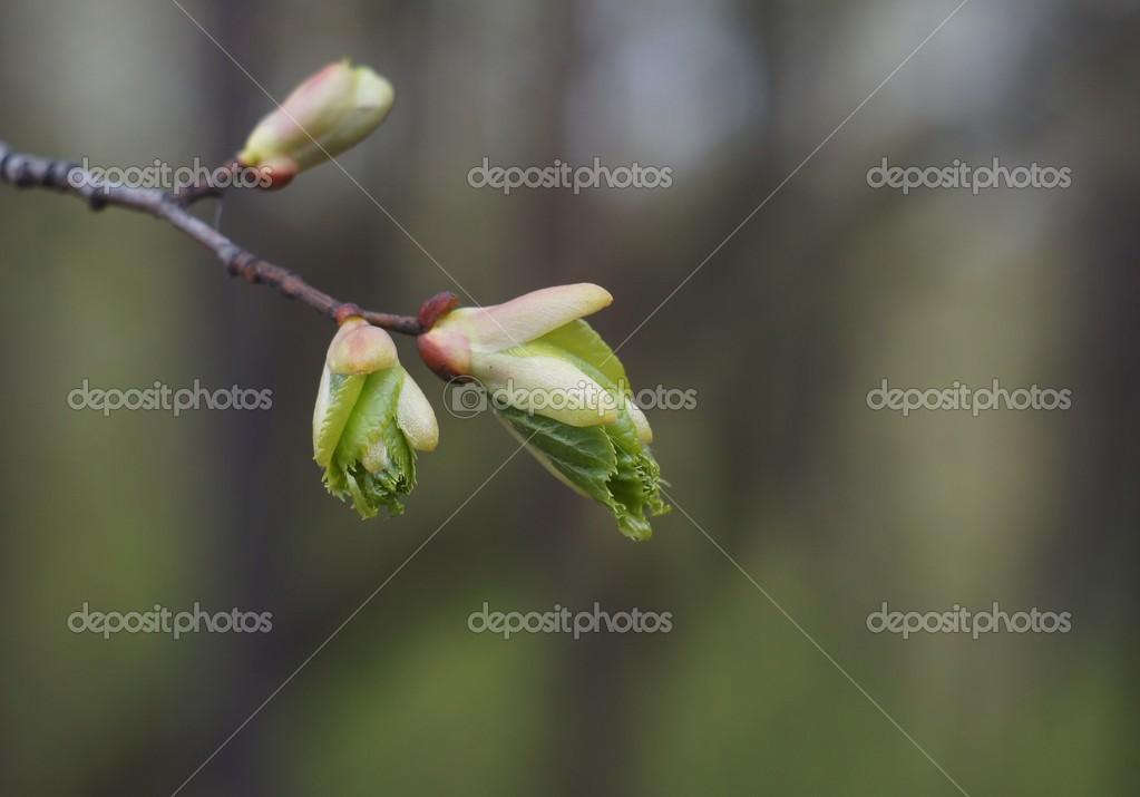 Картинки липа весной