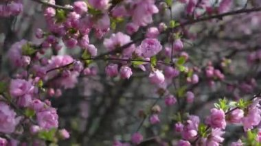 Blooming Prunus triloba var. truncata Kom. in spring, South Korea — Stock Video