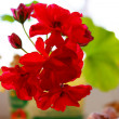 Geranium — Stock Photo #22412361