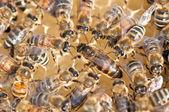 The queen honeybee — Stock Photo