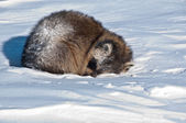 A sleeping raccoon on the snow — Stock Photo