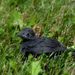 Baby blackbird waiting for his mother — Stock Photo