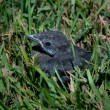 One lonely baby blackbird — Stock Photo