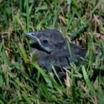 One lonely baby blackbird — Stock Photo