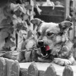 Stock Photo: Cute village watchdog in black and white